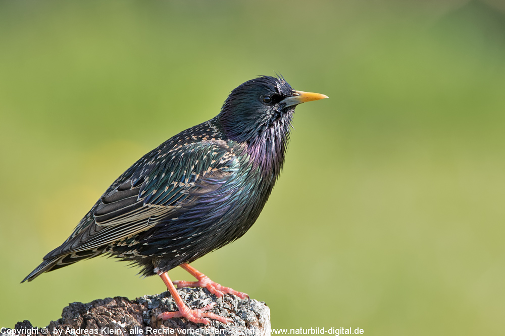 star sturnus vulgaris steckbrief und infos naturfotografien von andreas klein fotos foto bild. Black Bedroom Furniture Sets. Home Design Ideas